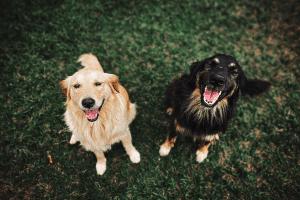 Populairste hondenrassen in België
